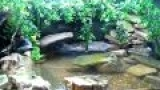 Indian Mudskipper Full Tank Video